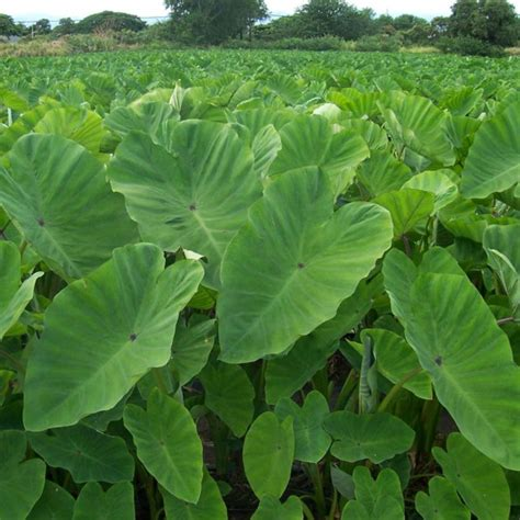 taro leaves plant care the taro plant interesting facts and practical tips fresh design pedia