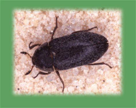 how to get rid of carpet beetles in my bedroom how to get rid of carpet beetles