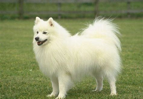 pomeranian puppies white pomeranian dogs breed information personality pictures
