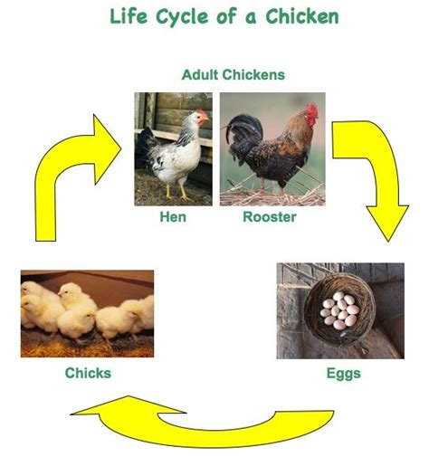 life cycle of a chicken photo cut out 22 best images about life cycle of chicken on pinterest