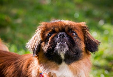 pekingese shih tzu mix puppies shih tzu pekingese mix dogable