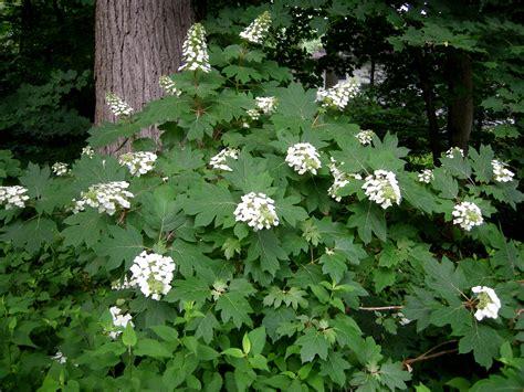 shade hydrangea oakleaf hydrangea carolyn s shade gardens