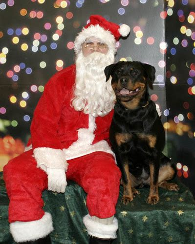 the rottweiler club rottweiler images rottweiler wallpaper and background photos 5652348
