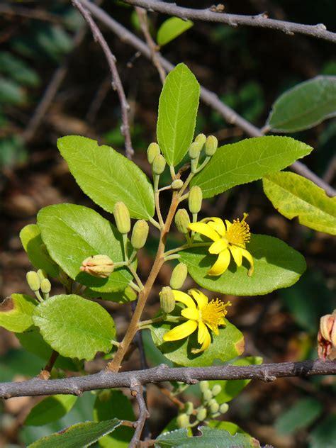 grewia bicolor images  tropical plants