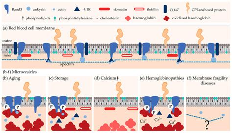 biomolecules special issue cellular membrane domains
