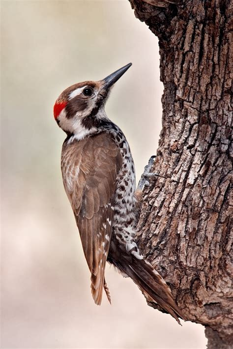 arizona woodpecker wikipedia