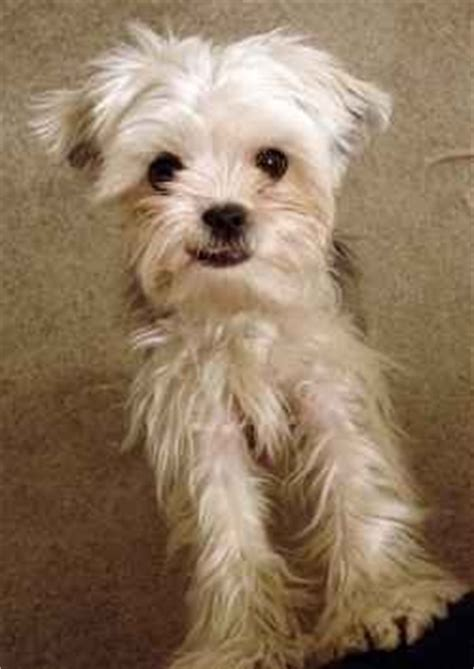 yorkie bichon mix temperament yorkie bichon mix animals yorkie
