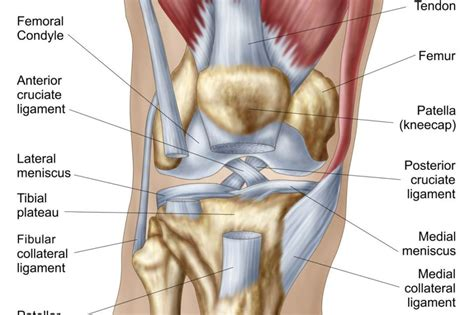 diagram of knee knee ligament diagrams to print diagram site