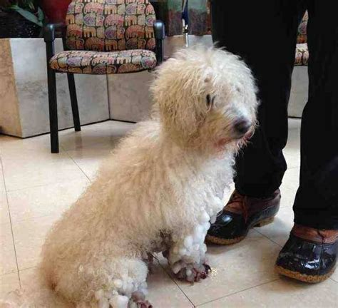 poodle rescue evansville indiana 48 best images about poodles us lost registry on