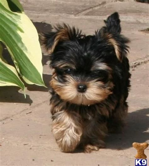 teacup yorkie puppies for sale in pittsburgh 15 must see puppies pins yorkie yorkie puppies and terrier haircut
