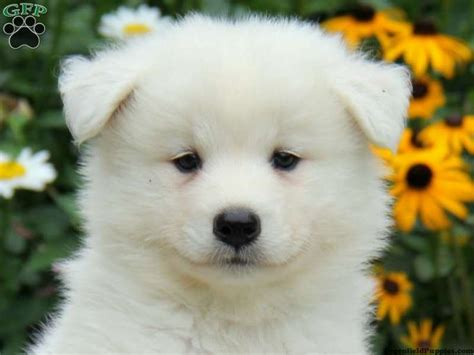 samoyed puppy for sale best 25 samoyed puppies ideas on samoyed samoyed dogs and samoyed