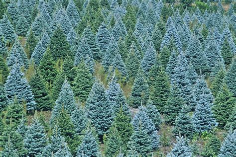 local christmas tree farm fishwolfeboro