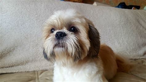 shih tzu rehome shih tzu puppy for rehoming fleet hshire pets4homes