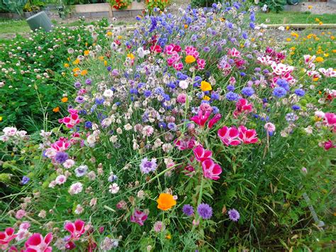 wildflower backyard west coast seeds wildflowers that bloomin garden