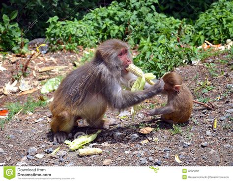 baby monkey feeding time monkey feeding its kid stock image image of details