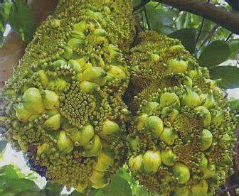 Teh Pucuk Yg Besar bibit tanaman buah langka unggul daerah kota blitar jenis