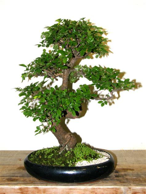 bonsai garten hamburg handbuch der ulmengew 228 chse