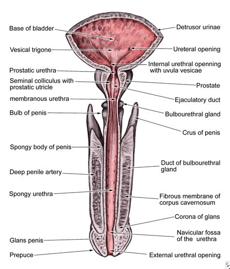 womens diagram anatomy diagram anatomy organ