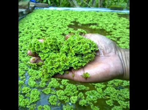 Jual Bibit Azolla Microphylla Medan azolla cultivation demo