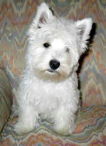 images of westie haircuts image gallery westie haircuts