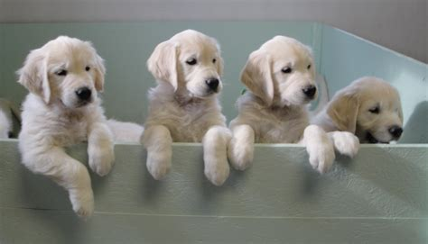 golden retriever puppies in maine golden retriever puppies maine dogs in our photo