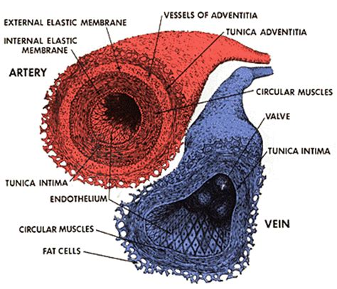 blood vessel cross section the heart and the circulatory system
