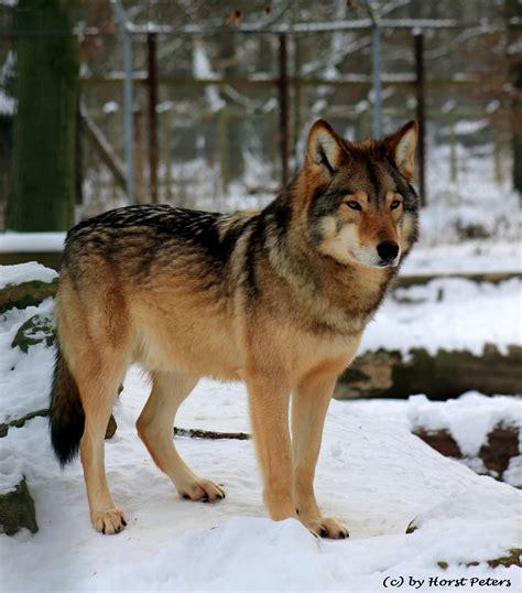 timberwolf color brown timber wolf