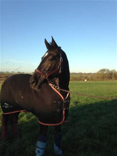 horses for sale uk sport horses sale showjumper dressage and eventer