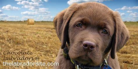 chocolate lab puppies information chocolate lab your guide to the chocolate labrador retriever