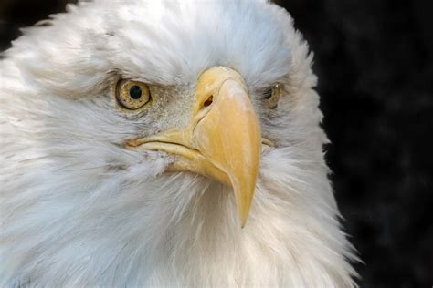 Lu Eagle Eye Mobil bald eagle bernieerniejr flickr
