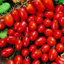 benih tomat principe borghese isi 3 benih benih aster powder puff 20 biji non retail bibitbunga
