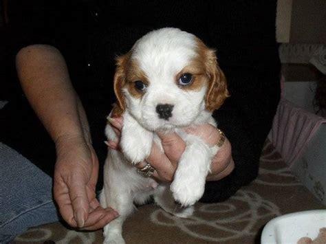 cavalier king charles spaniel  sale adoption