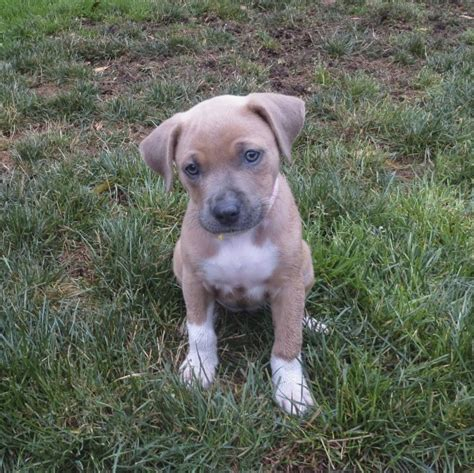 pitbull terrier mix puppies of the day roxie the pit bull terrier mix puppy the dogs of san franciscothe