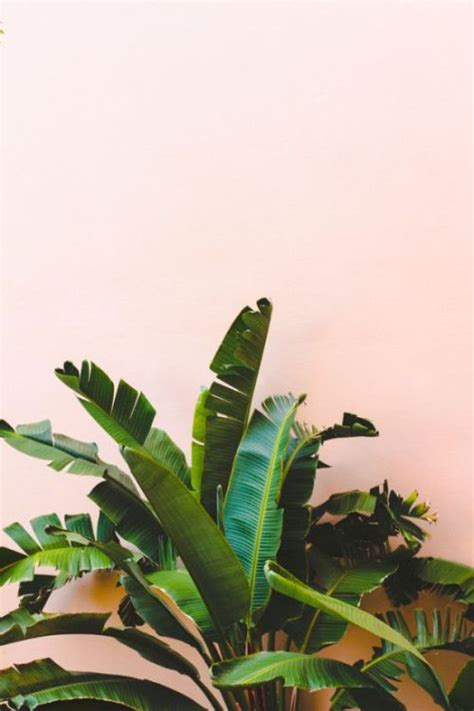 banana palm wallpaper tumblr tree summer style design green pink leaves tropical palm
