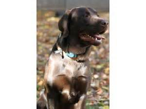 labrador puppies for sale in ct area labrador retriever puppies in connecticut