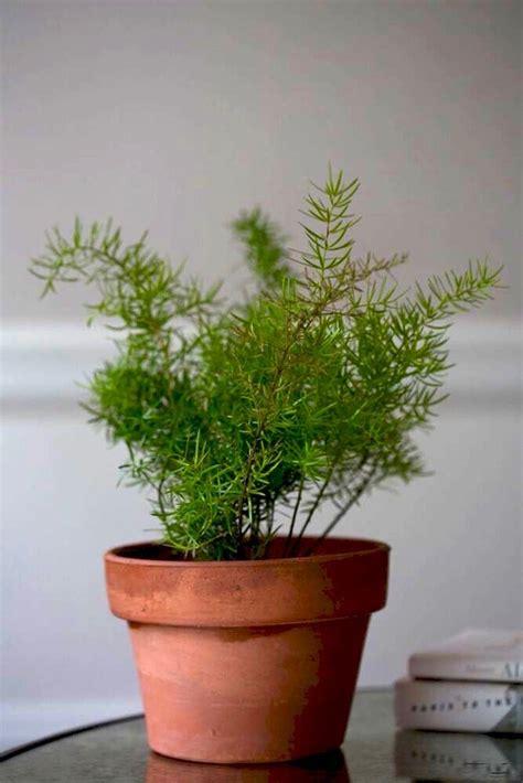 small low light plants gardening 101 asparagus ferns gardenista