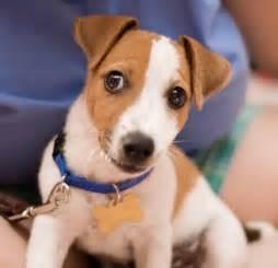 Jack russell terrier popular dog breeds