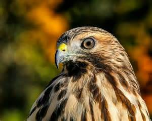 Red shouldered hawk birds of prey hawks kestrels kites falcons