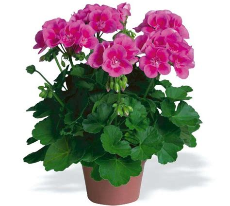 How to Take Care of Geraniums in Winter