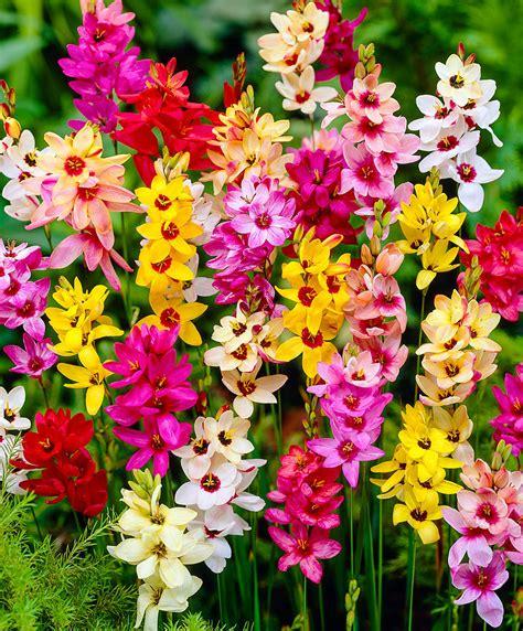bulbi da fiore perenni acquista confezione bulbi di fiori estivi bakker
