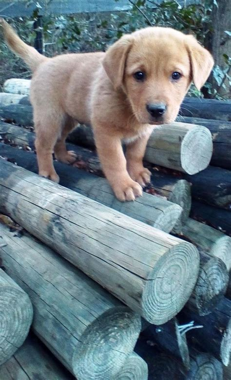 adoptable golden retriever puppies adopt on golden retriever mix labrador retriever and retriever