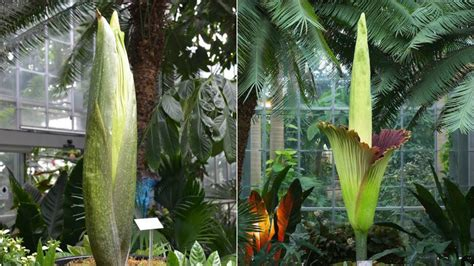 botanical gardens corpse flower hold your nose corpse flower to hit peak bloom at us