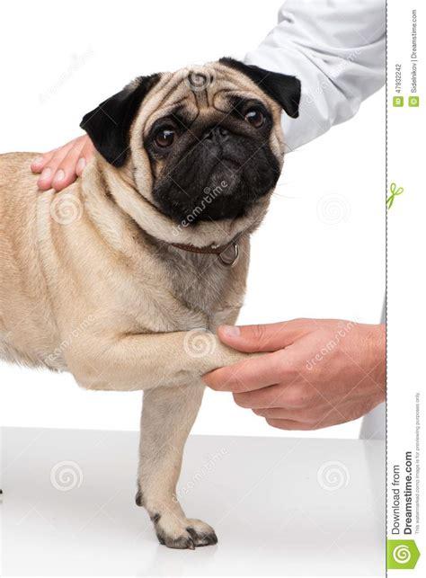 pug paws veterinarian holding pug paw stock photo image 47932242