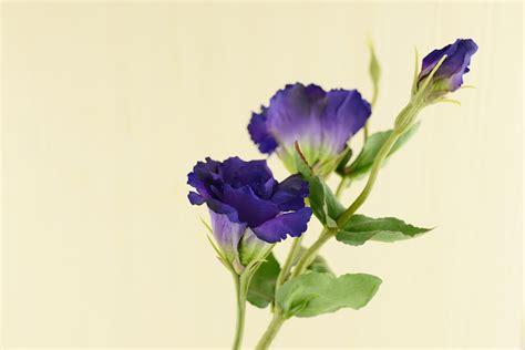 lisianthus flower purple 25in