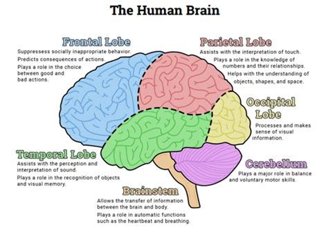 diagram of brain lobes how many lobes are in each hemisphere of the brain socratic