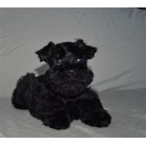 miniature schnauzer puppies florida miniature schnauzer rescue jacksonville fl breeds picture