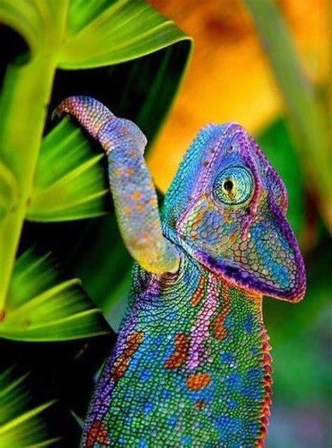veiled chameleon colors 86 best chameleon and lizard tattoos images on