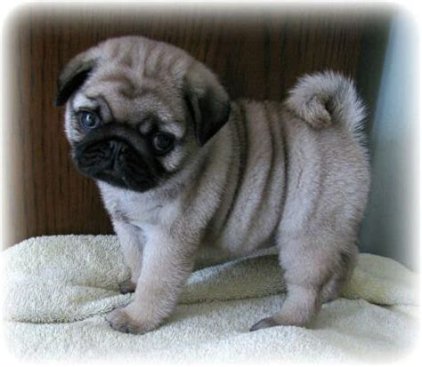 baby pugs for sale in ohio 25 best ideas about baby pugs on baby pugs pugs and pug puppies