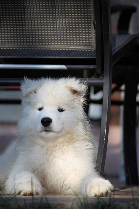 samoyed puppies ohio 45 best images about puppies i want