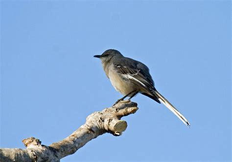 singing mockingbirds greg in san diego